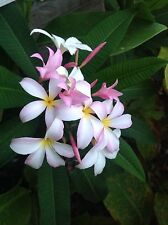 One Plumeria Cutting from a Healthy rooted tree White Yellow Pink 6 inch Each.