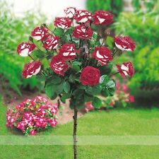 New Hybrid Variety White Red Rose Tree Flower Seeds, Professional Pack