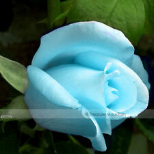Light Blue Rose Plant Seeds 50 seeds / pack