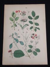 Original 1881 Pflanzen Atlas Flower Botanical Chromolithograph Plate No 10 NICE