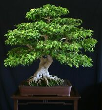 Weeping Fig, Ficus Benjamina 20 Seeds- Bonsai/Patio etc