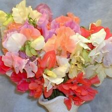 Kings Seeds - Sweet Pea, Pastel Shades - 20 Seeds