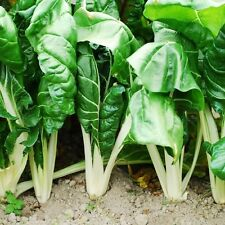 Swiss Chard Seeds - FORDHOOK GIANT - Cold Hardy, Heat Tolerant-NON GMO- 20 Seeds