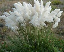 Flower Seeds Pampas Grass (Cortaderia selloana) Organic Flowers Seed