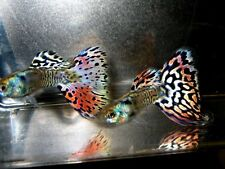 5 Nebula Steel Guppies TOP Quality Metallic Rainbow of Colors