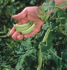 2017 Heirloom Sugar Ann Snap Pea Seeds 2 oz  approximately 225 seeds