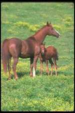 113061 Arabian Horses Mare With Foal A4 Photo Print