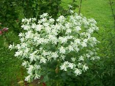 SNOW ON THE MOUNTAIN EARLY SNOW - Euphorbia marginata - 40 seeds