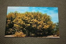 "Vintage Postcard Paloverde Meaning ""Green Stick"" In Spanish, Desert Country"