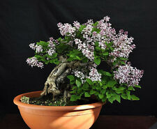 Bonsai seeds - Fragrant French Lilac, Syringa vulgaris, Seeds
