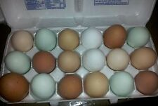 12++ Assorted Chicken Fertile Hatching eggs mixed breed/purebred