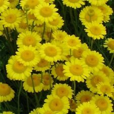 Marguerite Daisy- Yellow-    100 Seeds-   50 % off sale