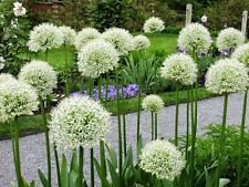 Allium Bulbs,White Colour bulbs,Pack Of  4 Healthy & Assorted Bulbs