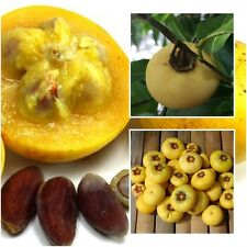 Diospyros decandra 10 Seeds Gold Apple Fragrance Fruits Rare Seeds From Thailand