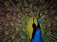 PEACOCK BIRD FLOWERS FEATHERS PHOTO ART PRINT POSTER PICTURE BMP2282A