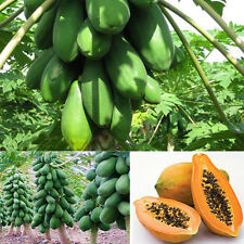 8Pcs Maradol Papaya Seeds Vegetable Fruit Tree Plants Seeds Outdoor Home Garden