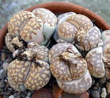 20 Lithops julii fulleri brunnea seeds Rare Cactus Living Stones Succulent plant