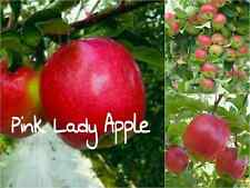 10 Pink Lady Apple Tree Seeds (Malus domestica 'Cripps Pink) Edible