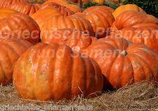 MAMMOTH citrouille géante alimentaire bis 100 kg 4 Graines XXL Halloween