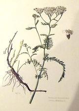 PLANCHE ANCIENNE BOTANIQUE RECTO/VERSO. ACHILLÉE MILLEFEUILLE N°155. (FL1)