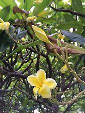 """RARE! MAUI GOLD CUTTING PLUMERIA CUTTING  - 12-14""""  VERY EASY TO ROOT"""