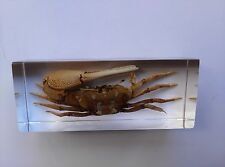Real fiddler crab encase the plastic as paperweight