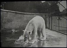Glass Magic Lantern Slide POLAR BEAR IN A CAGE C1900 PHOTO  ZOO