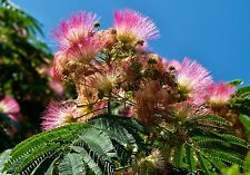 Albizia julibrissin NORTHERN COLD HARDY 1 Dormant Plant!