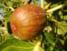 Fig Plant, FICUS CARICA Signora, pink-violet, GROW YOUR OWN FIG, 40cm, 9cm pot