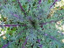 400+ Red Russian Kale JACK Seeds FRESH No GMO's Organic Heirloon Gourmet