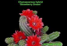 Chamaecereus,STRAWBERRY DREAM,Profuse Bloom,1 Gal,Plant,Echinopsis,Hildewintera