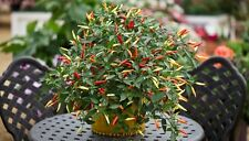 HOT CHILLI PEPPER - BASKET OF FIRE F1 - 100 FINEST SEEDS - BULK