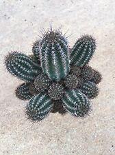 Chamaelobivia sp. no ariocarpus copiapoa aztekium cactus kakteen