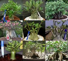 "ADENIUM ARABICUM DESERT ROSE ""MIXED 6 TYPES"" 121 SEEDS!"
