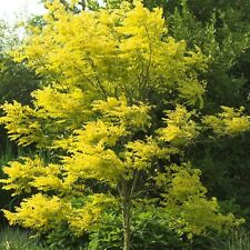 Gleditsia triacanthos Sunburst in 9cm pot  Honey Locust