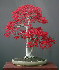 ACER PALMATUM - JAPANESE MAPLE, 10 SEMI