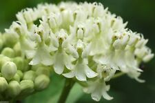 White Butterfly Weed (50 Seeds)Trouble free flowers,Attracts Bee And butterflies