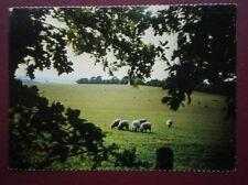 POSTCARD ANIMALS SHEEP GRAZING ON THE BERKSHIRE DOWNS