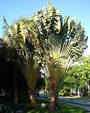 Selten • Zwerg-Baum der Reisenden • 10 Samen/seeds • Phenakospermum guyannense