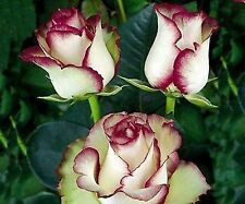 Beautiful White Rose With Red Edge Seeds 100 SEEDS