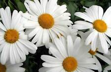 Shasta Daisy Seeds ( 5000 Seeds ) Heirloom, organic Perennial,  (white)