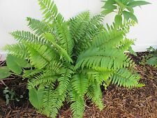 10 MACHO (Nephrolepis biserrata) FERNS,10 Well Rooted Plants,-Very Easy To Grow-
