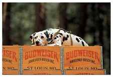 Clydesdale Dalmation Resting on Budweiser Case Canvas Art [ID 165062]