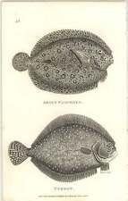 1803 Zoología Shaw peces Argus platija y el rodaballo Grabado