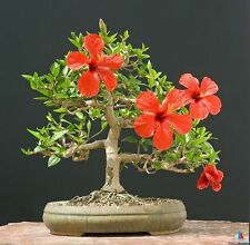 HIBISCUS CRIMSON MALLOW - 70 seeds - Hibiscus Syriacus  - bonsai tree