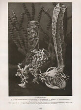 1911 NATURAL HISTORY DOUBLE SIDED PRINT ~ GLASS-SPONGES / RADIOLARIANS