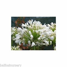 New Agapanthus Wedding Day large pure white flowers good garden perennial plant