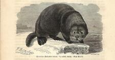 Stampa antica LONTRA DI MARE Enhydra lutris 1891 Old antique print