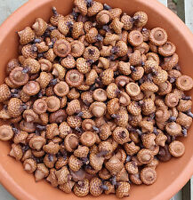 200 DRIED CLOSED CUP FLAT ACORNS CRAFTS, WEDDINGS, DECOR, POTPOURRI