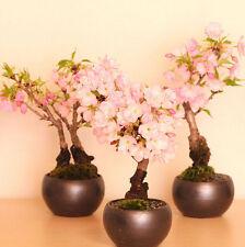 Sakura-Samen Kirsche Japanisch Saat Bonsai 20PCS Bonsai Baum Blüten 2016 Blume